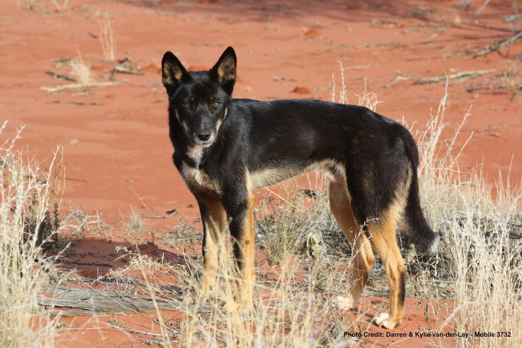 Black-Dingo-Anne-Beadell-Highway-WA
