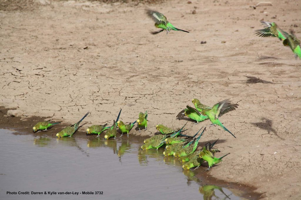 Budgies-on-the-Canning-Stock-Route-WA