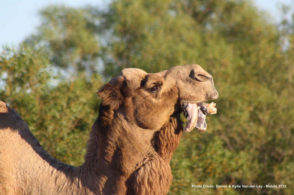 Camel-at-Well-33-WA