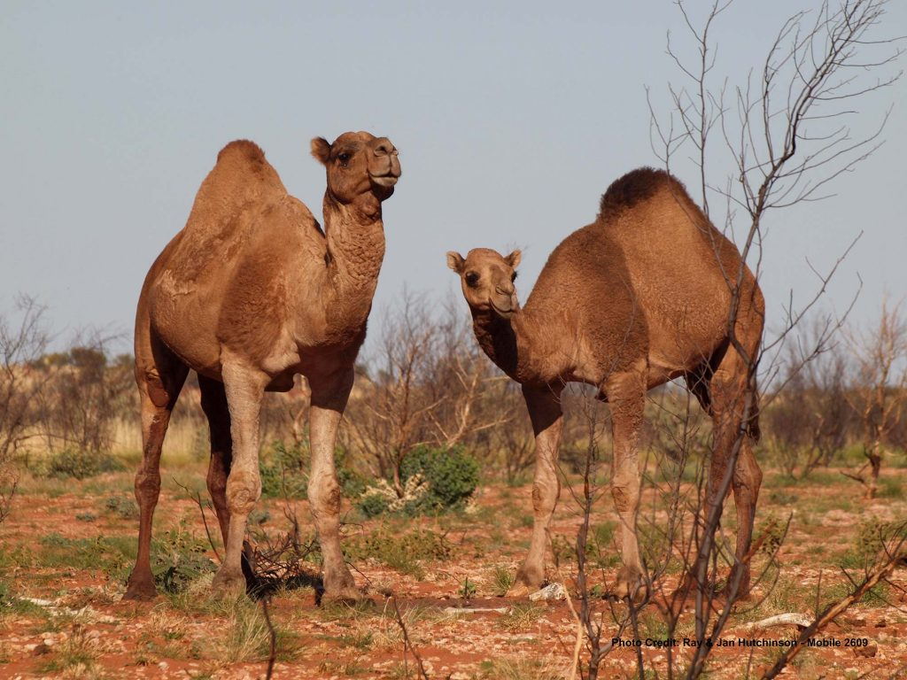 Camels-on-the-Canning-Stock-Route-WA