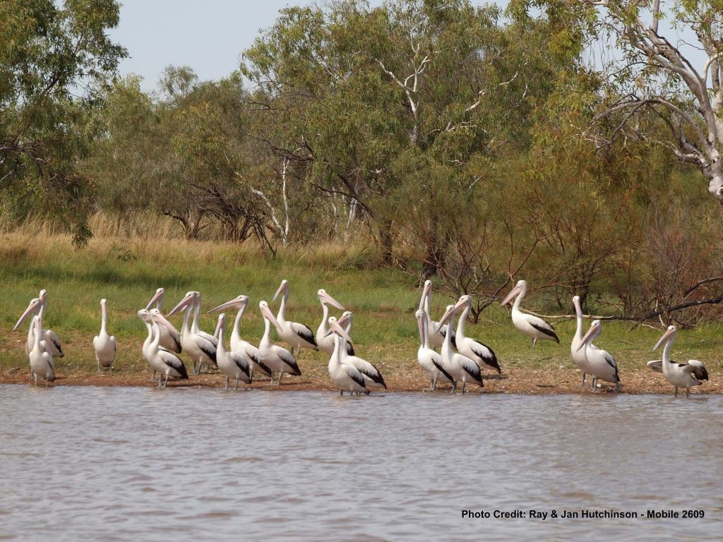 Pelicans-at-Stretch-Lagoon-WA